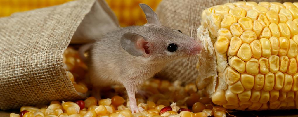 Eine Maus knabbert an einem Maiskolben